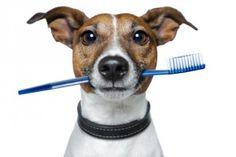 """Tómate un tiempo para revisar sus dientes Un cuidado dental adecuado puede reducir el """"aliento de perro"""". Puedes ayudarte de cepillos viejos, cepillos de dedo, cepillos para la lengua, aditivos para el agua, gomas de mascar… y por supuesto visitas al veterinario para revisiones y limpiezas periódicas."""