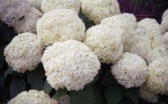 White hydrangea for cottage garden. Hydrangea Bush, Hydrangea Colors, Love Flowers, White Flowers, White Hydrangeas, Flower Quotes, White Gardens, Shades Of White, Lawn And Garden