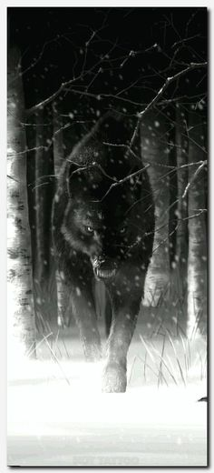 Save from the wolf when its dance starts wild, save only from its catches . - Save from the wolf when its dance starts wild, save only from its catch save from the dawn, before - Wolf Tattoos, Wolf Angry, Scary Wolf, Wolf Craft, Twilight Wolf, Alpha Wolf, Wolf Artwork, Wolf Images, Werewolf Art