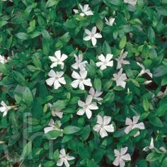 "Creeping Myrtle  Vinca minor 'Alba'ground cover.  A reliable and attractive ground cover for dry shade under trees and for erosion control on banks or slopes. Best performance when shaded from the hot afternoon sun.  White flowers bloom early to late spring  Hardiness  -30°F  Ht.  6-8""   Spacing  12-15"" Ground cover  Water  Weekly during dry spells; more often until roots established  Light  Sun or shade. Keep weed-free  Showy ground cover, for erosion control, shade-loving"