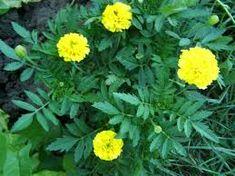 Imagini pentru taghete plante Plant