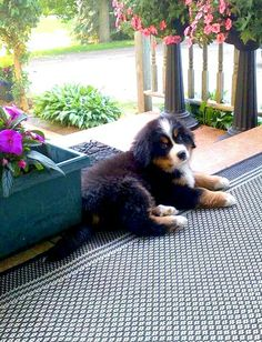 Sweet Berner puppy
