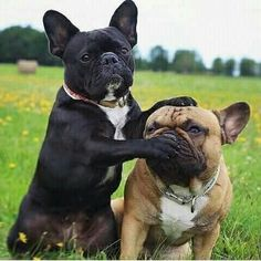 Find Out More On The Affectionate French Bulldog Puppy And Kids Cute French Bulldog, French Bulldog Puppies, Teacup French Bulldogs, French Bulldog Full Grown, Cute Baby Animals, Funny Animals, Quiet Dog Breeds, Cute Puppies, Dogs And Puppies