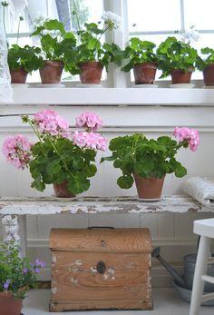 Aunt Monica: The rest of last year - Geraniums in the sunroom Hardy Geranium, Pink Geranium, Red Geraniums, Potted Geraniums, Malva, Winter Garden, Summer Flowers, Garden Styles, Houseplants