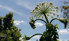 Giant hogweed strikes again: Dog walker hospitalised amid growing fear over toxic plant.  Picture - Hogweed toxic plant