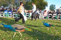 Peacocks roaming wild at park in Las Vegas, NV during outdoor event