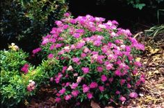 Neon Flash Spirea  I need something that stays small to put in the garden in front of my windows.  This might be the one!