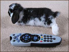 Alfie (mini lop bunny) weighing in at 368g - soooo cute!