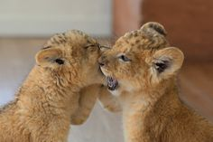 Two Lion Baby Cubs nibbling at each other's muzzles Cute Animals Images, Cute Animal Pictures, Cute Baby Animals, Animals And Pets, Beautiful Cats, Animals Beautiful, Big Cats, Cute Cats, Gato Grande