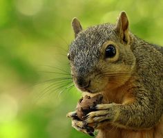 """""""public (1 photo)  Mike Bagby: Snoopy the Squirrel for #bokehtuesday curated by +Bob Baxley"""""""