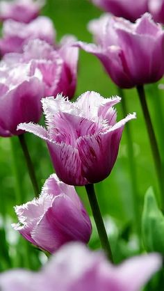 flowers_field_tulips_striped_grass_stems_17823_640x1136 | Flickr - Photo Sharing!
