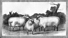 Vintage Clip Art - 3 Nice Sheep - The Graphics Fairy