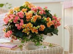 Begonia http://homeflowers.ru/entsiklopedija/entsiklopediya/begonija-elatior.html