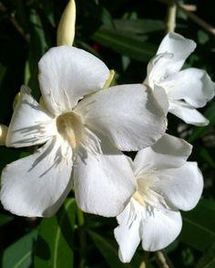 Oleander morning