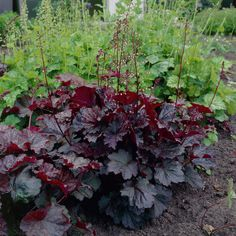 KGA: Heuchera micrantha 'Palace Purple'