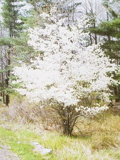 Amelanchier canadensis: Serviceberry - For moist soils, sun to shade. A great understory flowering tree/shrub that bears tasty red berries. Great in pies!
