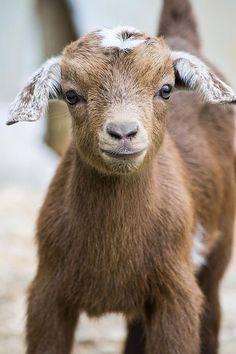 """A Young Goat: """"I 'Kid' You Not!""""    (Photo By: Shelby Young.)"""