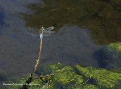 Dragonfly over water