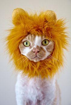 Devon Rex (Heartly) wearing a Lion Cat Hat