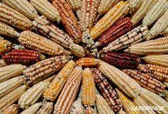De cerca… nuestra queja ante CNDH por las posibles siembras de maíz transgénico | Greenpeace México