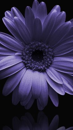 Gardening Hacks That Anyone Can Use Exotic Flowers, Amazing Flowers, Pretty Flowers, Purple Flowers, Daisy Wallpaper, Flower Phone Wallpaper, Purple Wallpaper, Gerbera Flower, Flower Art