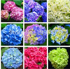 Quality Garden Supplies with free worldwide shipping on AliExpress Bonsai Seeds, Tree Seeds, Flower Seeds, Flower Pots, Hydrangea, Organic Fruit Trees, Rare Flowers, Purple Bags, Garden Supplies