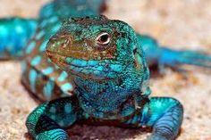 A beuaty Aruba Arikok Lizard