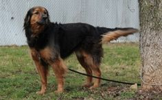 Charlie is an adoptable Gordon Setter Dog in Battle Ground, IN. Charlie is approximately 2 years old. His coat is absolutely gorgeous and nice to touch. He has a bubbly fun personality and loves pe...