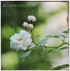 un giardino in diretta - blog di giardini, giardinaggio, natura e di artigianato: fiori di settembre: rosa Prosperity (Pemberton 191...