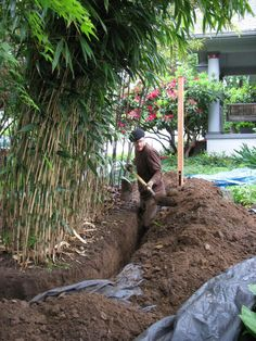 How to Plant a Running Bamboo. Running bamboo has a horizontal root system called a rhizome. This particular root system means there are specific ways to plant and control running bamboo. Bamboo Hedge, Bamboo Tree, Bamboo Plants, How To Plant Bamboo, Bamboo Privacy Fence, Small Gardens, Outdoor Gardens, Bamboo Landscape, Growing Bamboo