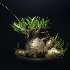 pachypodium gracilius