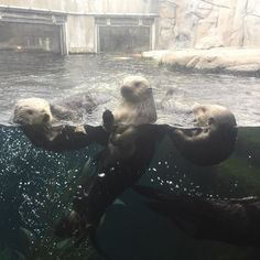 They thought I was feeding them tonight. Sorry, ladies. But I love the love. #monterey #pacificgrove #rosa #ivy #gidget #abby #mba #montereybayaquarium #otters #montereylocals - posted by Jessica https://www.instagram.com/jessicagentree - See more of Monterey Bay at http://montereylocals.com