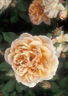 """""""Cafe"""" rose with a strong fragrance"""