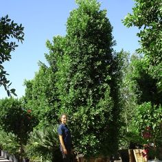 Indian Laurel Columns are the ultimate in hedge material. The thick spread of leaves they create, especially when planted next to similar specimens, creates a thick and opaque screen of green leaves, providing not only shade and color, but protection. This specimen reaches 14-18 feet tall (planted height) and is ideal if you need a big hedge - and fast.