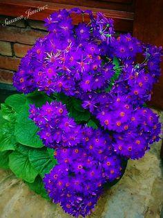Aleteos púrpura