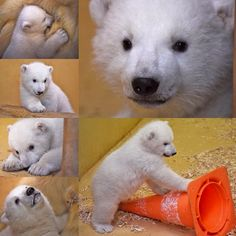 Welcome to the world, little Lilly. ❤️ The new born Polar Bear is so adorable! (Zoo/Bremerhafen/Germany)