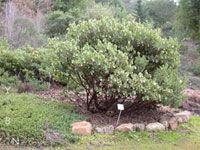 Arctostaphylos regismontana - King's Mountain Manzanita - found in Edgewood