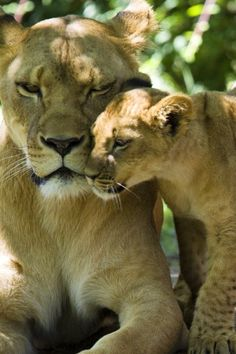 Lion Cub Givin' a Little Love to Mom. Nature Animals, Baby Animals, Cute Animals, Wild Animals, Beautiful Cats, Animals Beautiful, Majestic Animals, Beautiful Body, I Love Cats