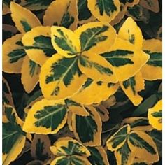 Euonymus fortunei 'Emerald 'n' Gold' Garden Trees, Hedges, Horticulture, Evergreen, Shrubs, Garden Design, Emerald, Plant Leaves, Plants