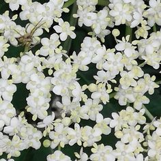 #blacklilac #lilac #spider #pająk #nature
