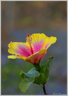 hibiscus flower benefits in telugu Unique Flowers, All Flowers, Types Of Flowers, Flowers Nature, Exotic Flowers, Orange Flowers, Amazing Flowers, Beautiful Flowers, Lilies Flowers