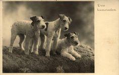vintage wire hair fox terriers