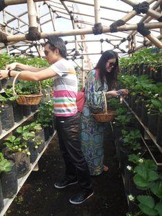 Strawberry picking at Rumah Straberi Farm, Bandung Indonesia