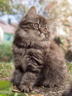 Cats are one of the most domesticated animals most households have. Probably just secondary to dogs but there are people who plainly prefer having cats as their pet. Pretty Cats, Beautiful Cats, Kittens And Puppies, Cats And Kittens, Cute Baby Animals, Animals And Pets, I Love Cats, Cute Cats, Gato Grande