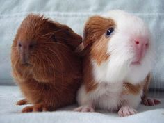 Glynneath Guinea Pig Rescue 01639 721127: New Arrivals