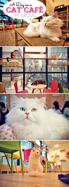 A Day In A Cat Café in Seoul, South Korea | What's better than a coffee shop with a good selection of caffeine drinks? A cat café!! A place where people can spend an afternoon petting and playing with the kitties. - via @Just1WayTicket