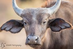A young Buffalo starring at the camera. by Simoneemanphotography. A young Buffalo starring at the camera in the Kruger National Park, South Africa. Man Photography, Wildlife Photography, Animal Photography, Big Animals, Safari Animals, Kruger National Park, National Parks, Funny Animal Photos, Animals Photos