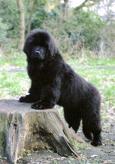 Newfoundland pup. Gentle giants. Still miss my Newfie.