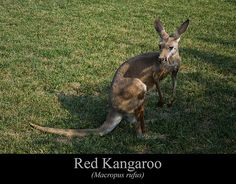 Red Kangaroo  This is an image of a Red Kangaroo (Macropus rufus) standing in a field.