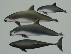 """Vaquitas, also known as the """"Gulf of California porpoise"""" or """"Cochito,"""" are elusive and timid members of the porpoise family. They were first described by western scientists in 1958 based on several skulls."""